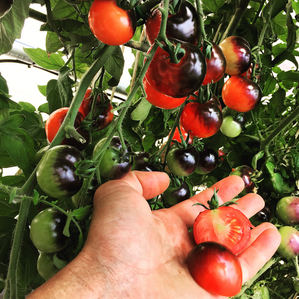 hydro genesis fertilizer tomatoes