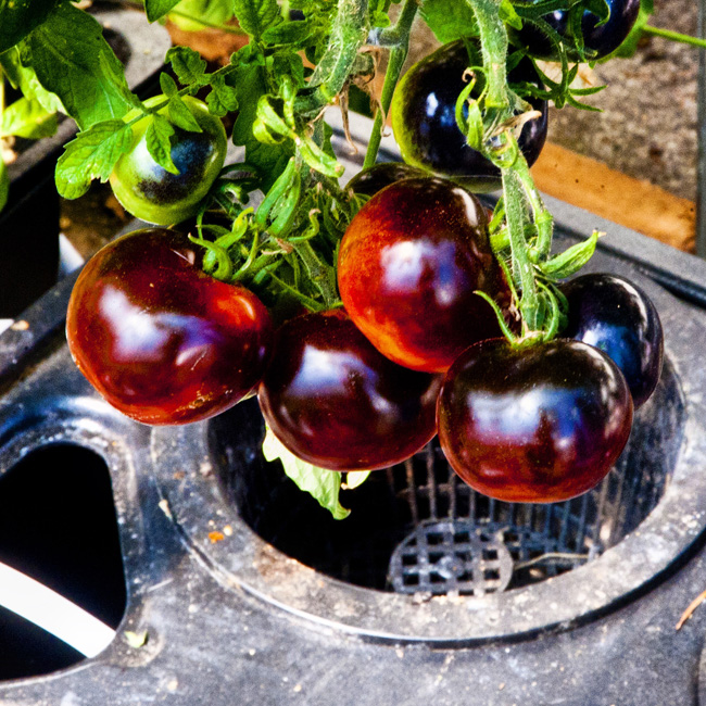 hydroponic heirloom tomatoes