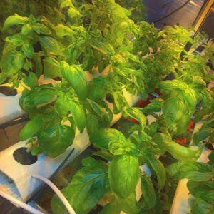 hydroponic nft genovese basil