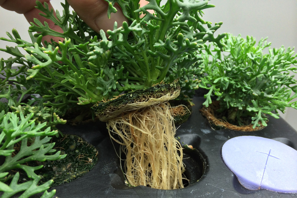 strating seeds with aeroponics