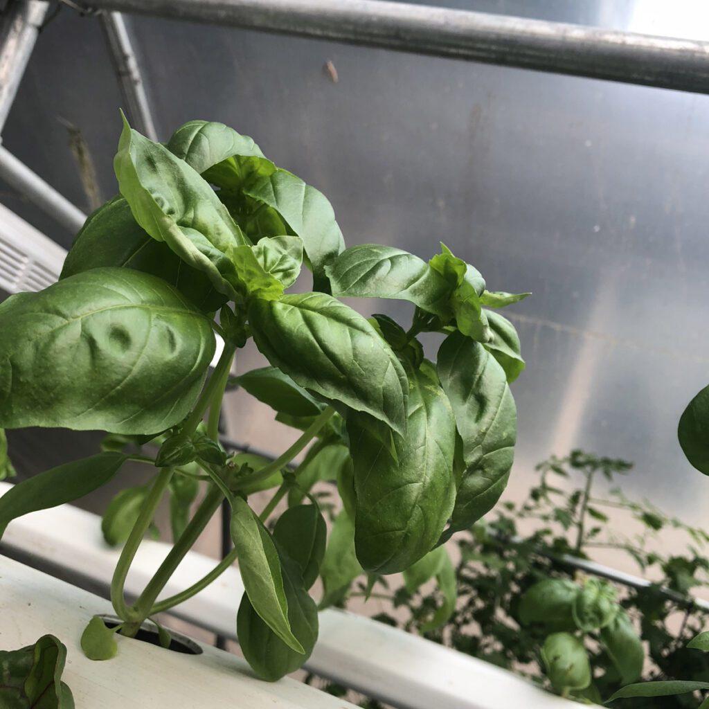 hydroponic basil nft