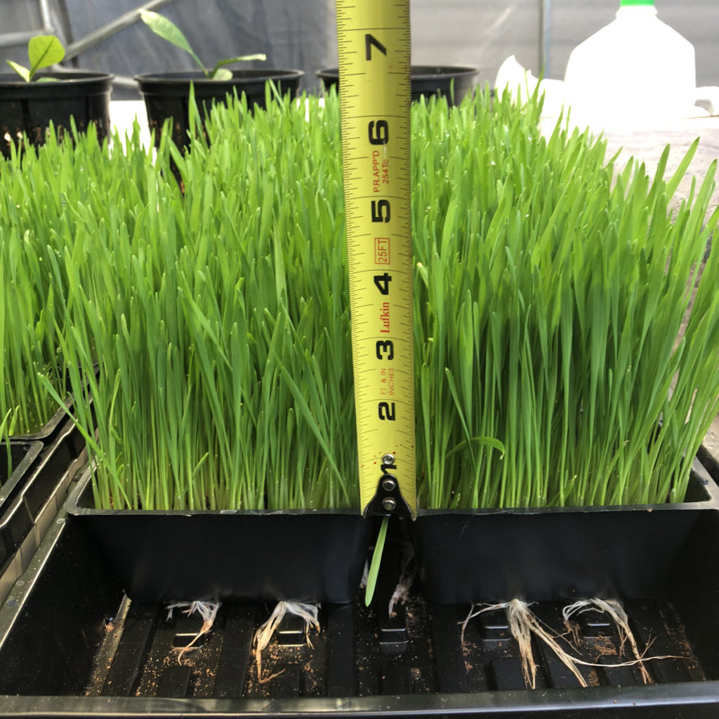 harvesting wheatgrass
