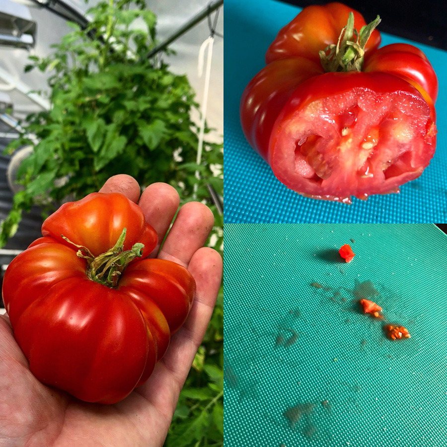 quality firm hydroponic tomato fruit