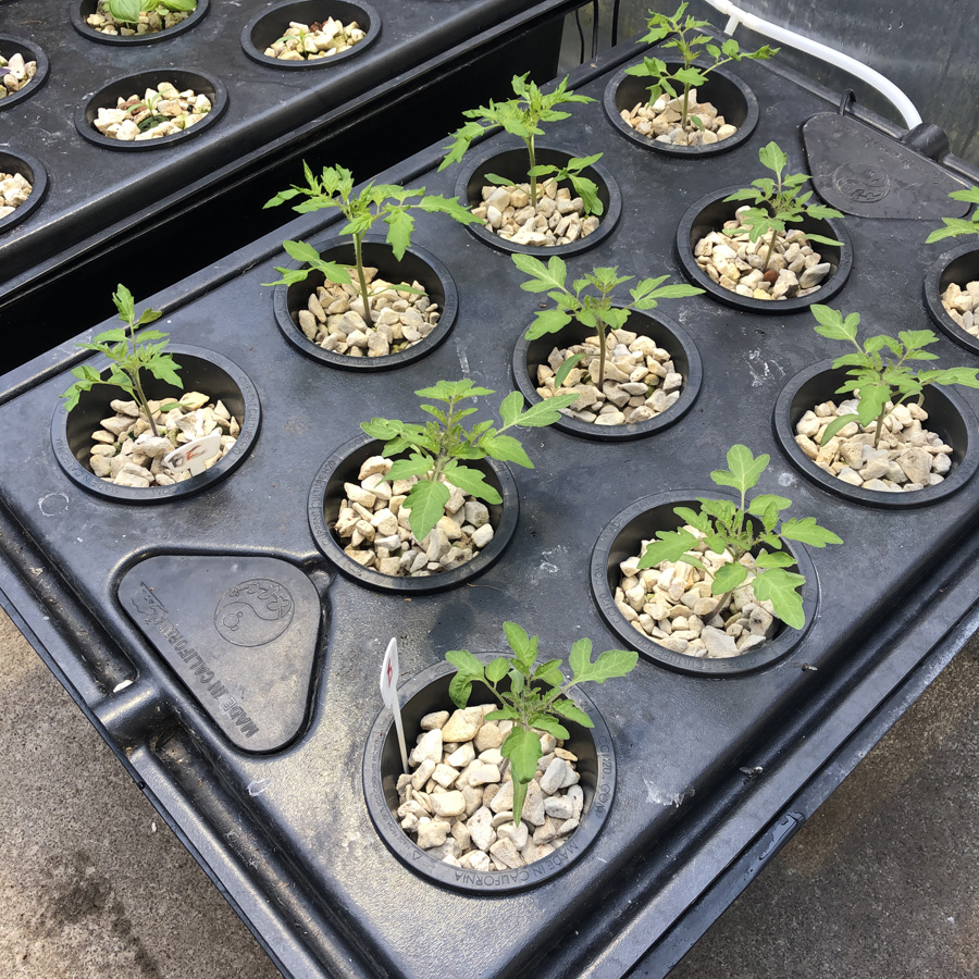 dwc hydroponic tomatoes