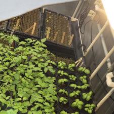 Growing Garden Transplants, Part Two Potting Up & Hydroponics