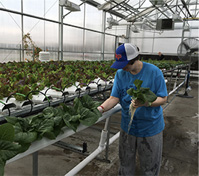 harvesting healthy hydroponic food