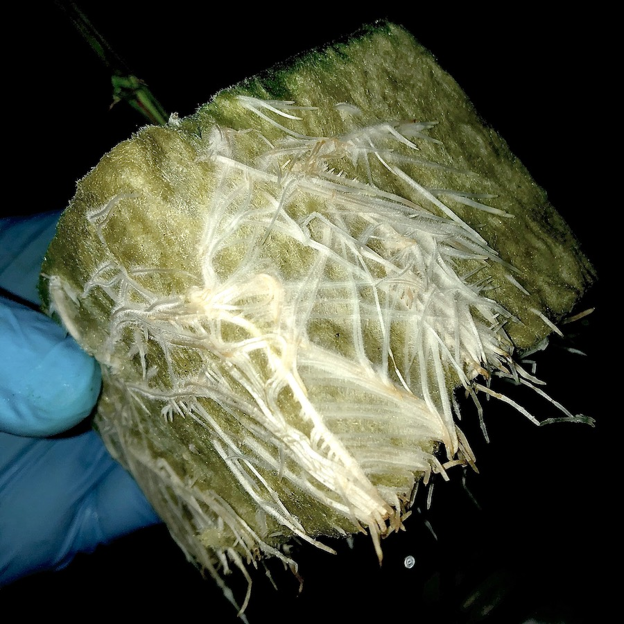 healthy roots rockwool cube