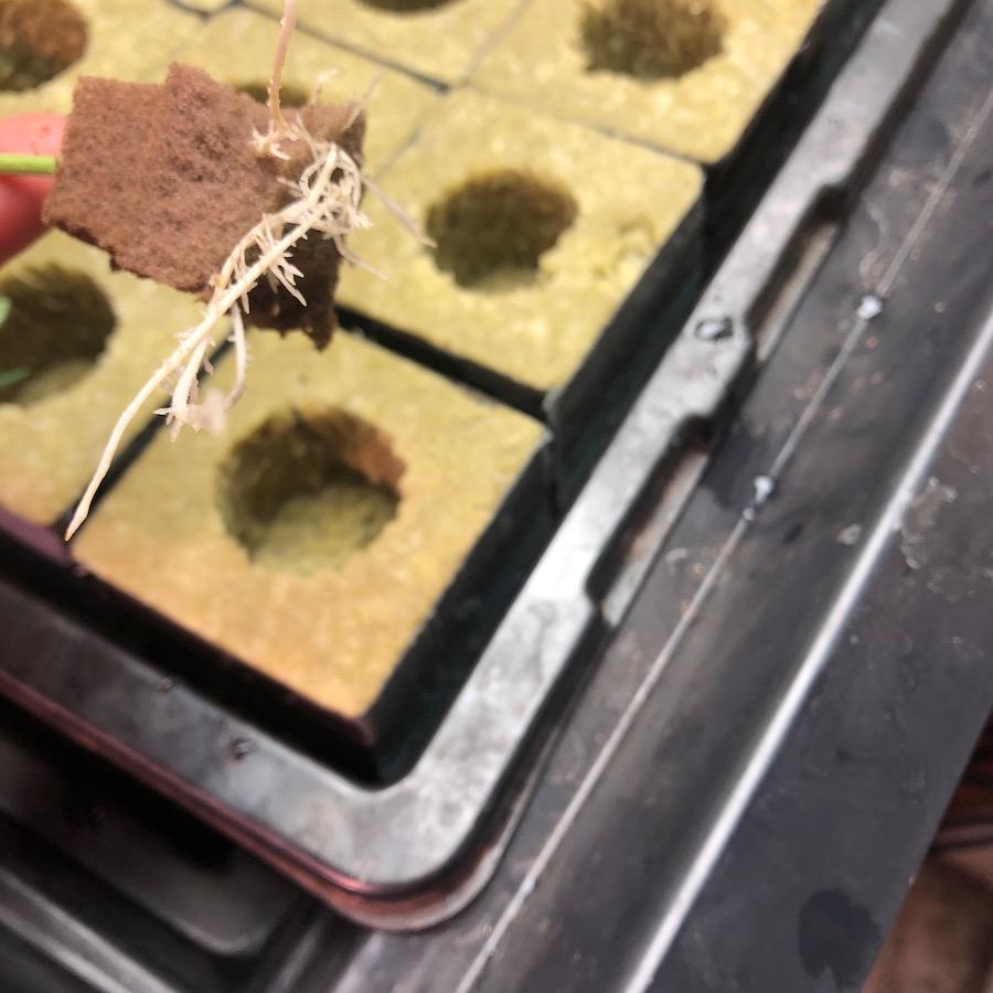 transplanting with rockwool