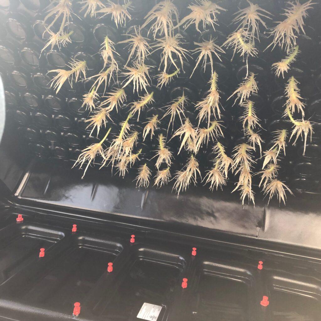 low pressure aeroponics roots